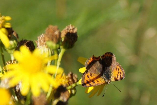 Small Copper (Lycaena phlaeas), Richmond Park