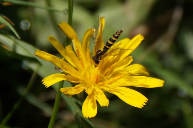 A Sphaerophoria hoverfly, Richmond Park