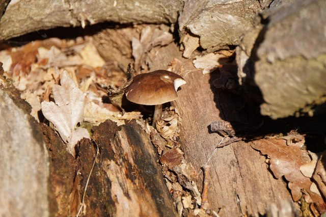 A toadstool in a woodpile, Richmond Park