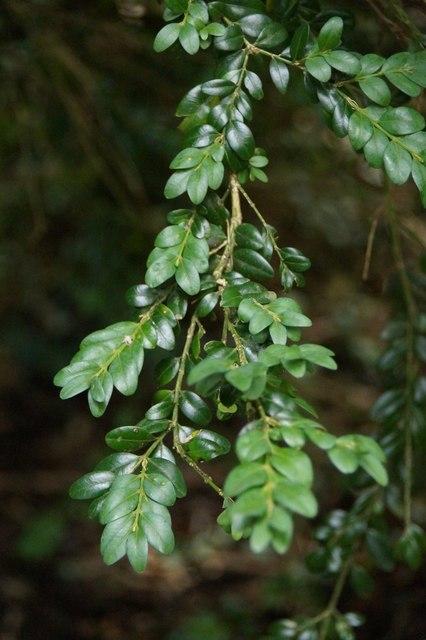 Common Box (Buxus sempervirens), Box Hill
