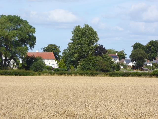 Field of wheat near Merrybent