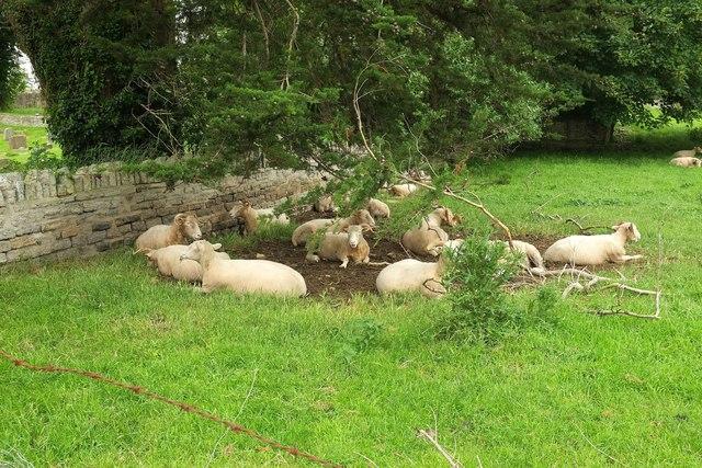 Horned sheep, Charlton Adam