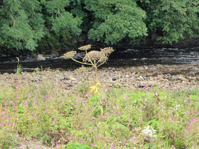 Giant Hogweed on an island in the River Tees