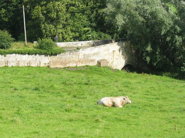 Bull at rest by Dairsie Bridge