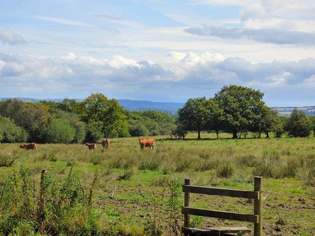 Cattle grazing near Dilhorne Park