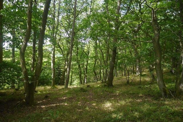 Oaks, Bucknell Wood