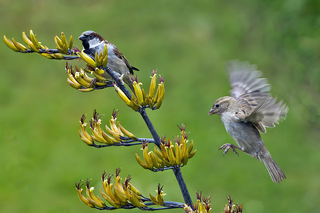 Male and female house sparrows (Passer domesticus)