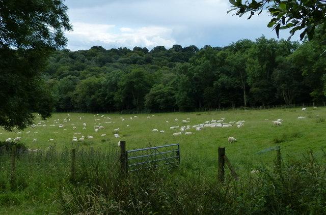 Sheep in a field near the Wrekin