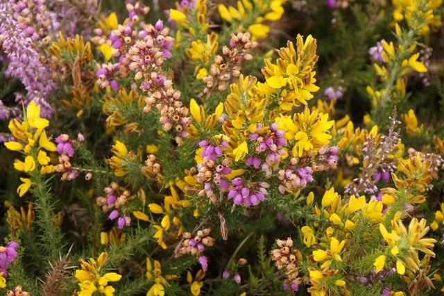 Heathland plants, Chobham Common