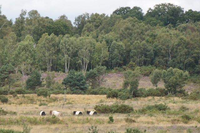 Cattle on Chobham Common