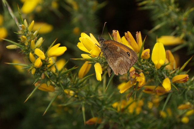 Small Heath (Coenonympha pamphilus), Chobham Common