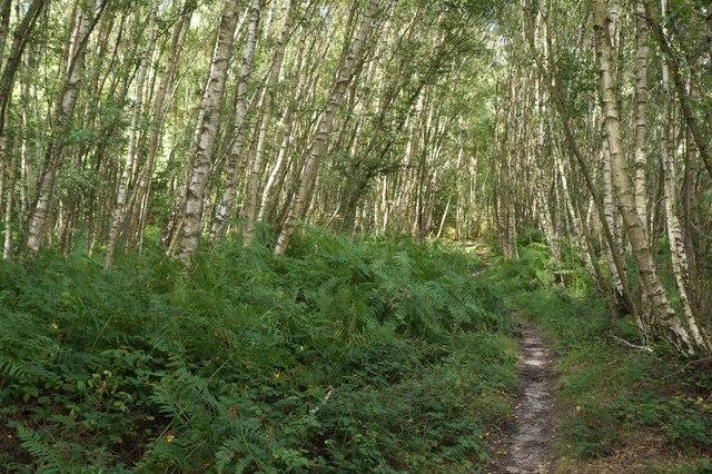 Birch woodland, Roundpond Clump, Chobham Common