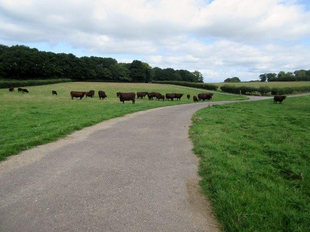 Cattle across footpath