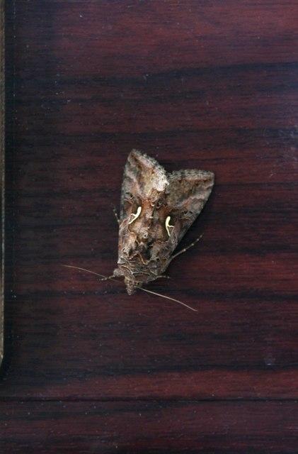 Silver Y moth on the inside of a door in Yarburgh