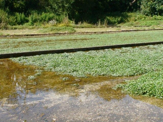 West Lea watercress beds