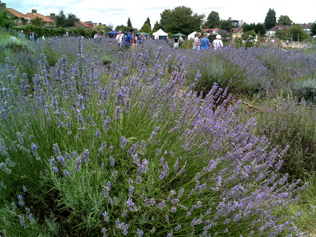 Carshalton Lavender event - summer 2017