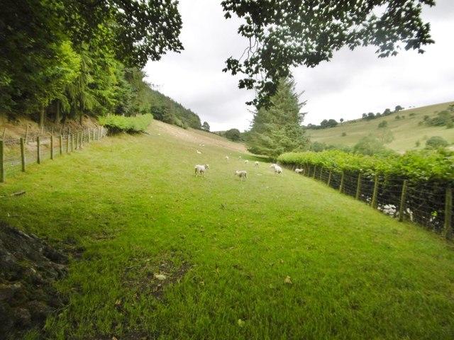 Rhiwlas, sheep grazing