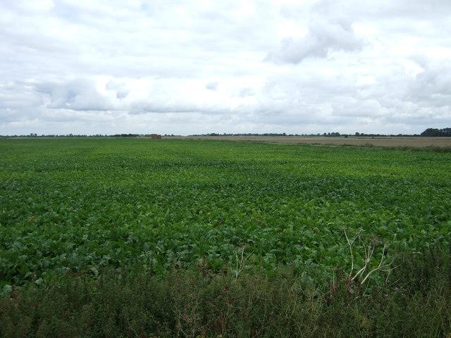 Crop field near Skylark Farm