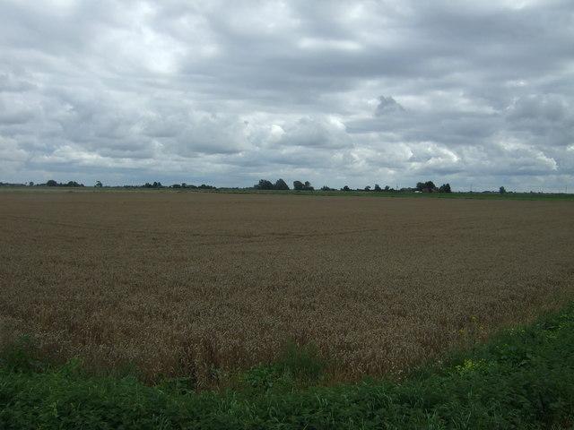 Cereal crop off Manea Road (B1093)