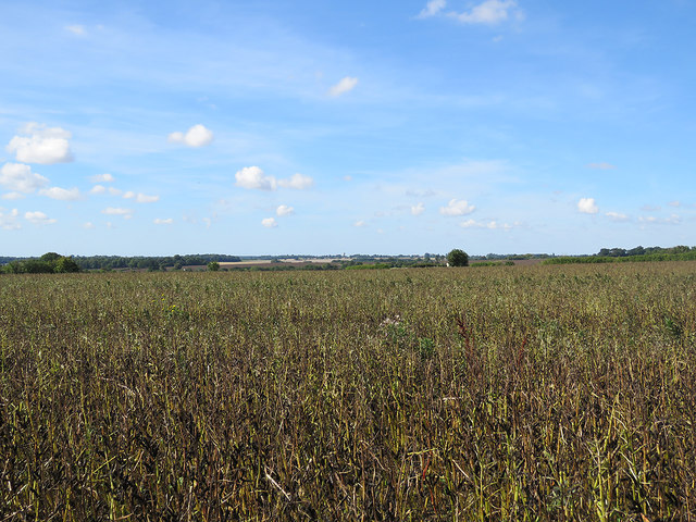 Field beans near Withersfield
