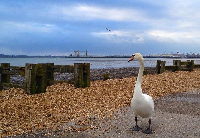 Swan by Southampton Water
