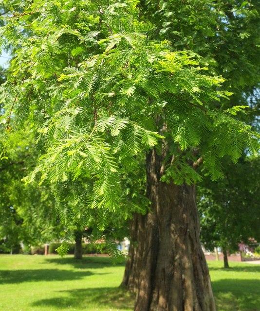 Swamp cypress, Cadewell Park