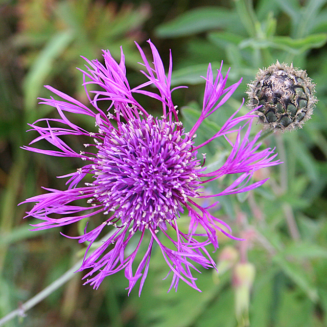 Greater Knapweed (Centaurea scbiosa)