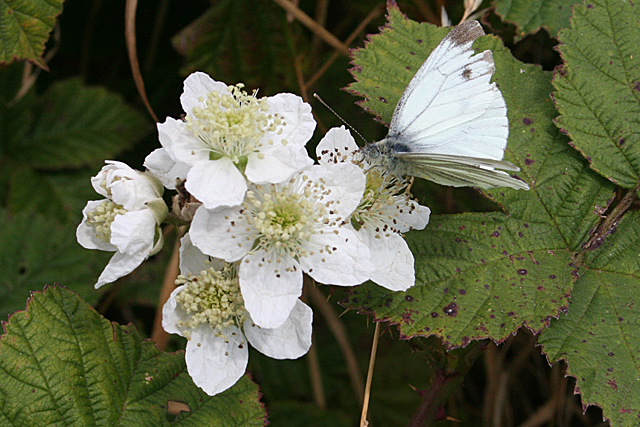 Butterfly on Bramble Blossom