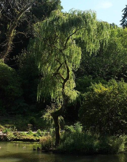 Willow, Cockington
