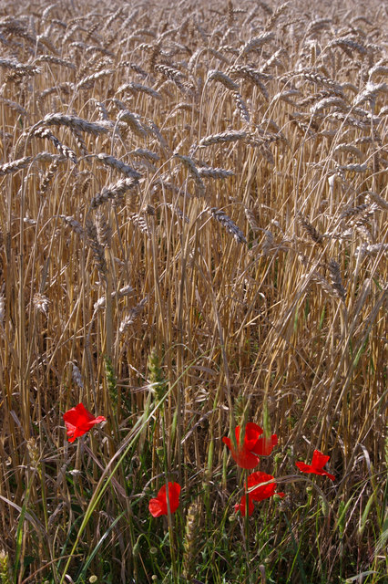 Poppies and wheat, north of the London Loop