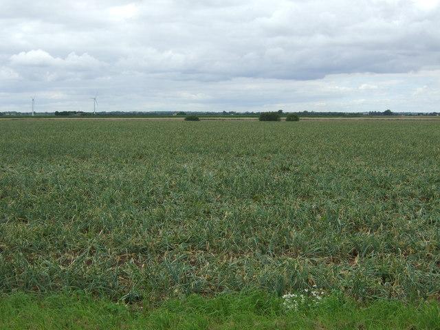 Onion field, Ferry Burrows
