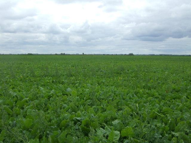 Crop field, North Fen