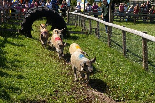The pig race at Bocketts Farm, Fetcham