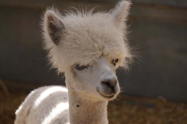 A young alpaca, Bocketts Farm, Fetcham