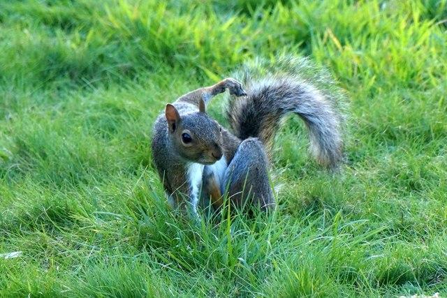 Grey Squirrel (Sciurus carolinensis), Nonsuch Park