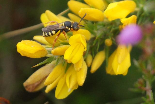 The nomad bee Nomada rufipes, Chobham Common