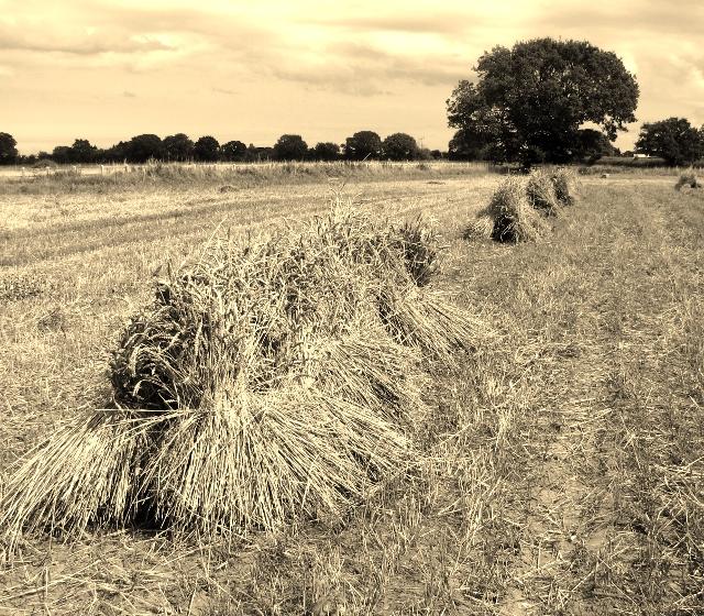 Harvesting in bygone days - corn stooks in a field