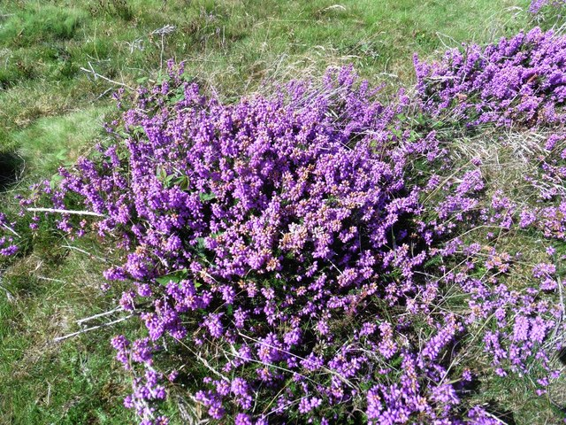 Blooming heather at Bat's Castle