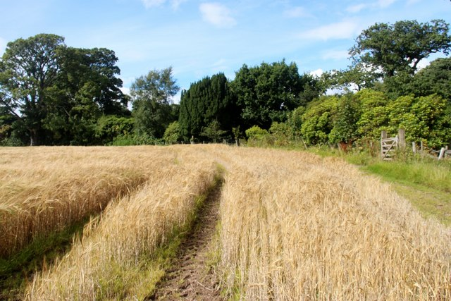 Field of barley at Drumhead
