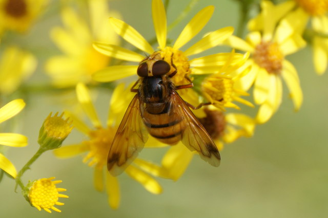 The hoverfly Volucella inanis, Epsom Common