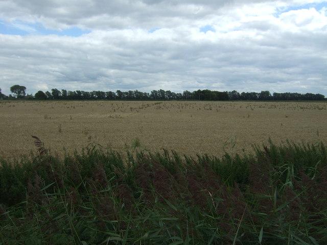Cereal crop near Earith