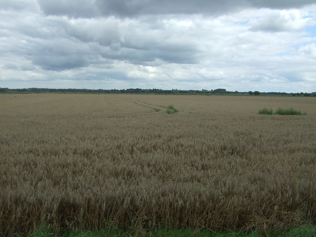 Cereal crop east of Long Drove