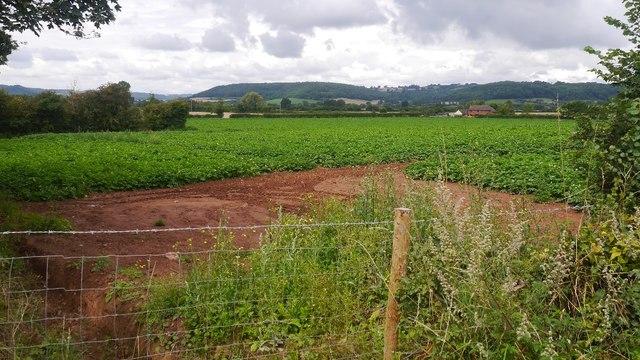 Potato field near Marden