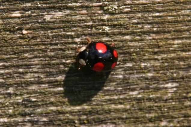 Wrong kind of ladybird, Otby