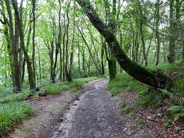 Climbing through Colvithick Wood