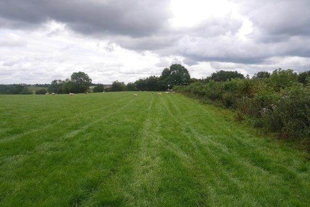 Sheep grazing, Upper Sapey