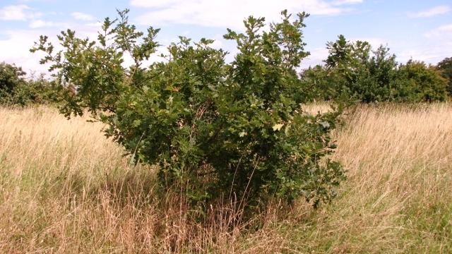 Small oak tree