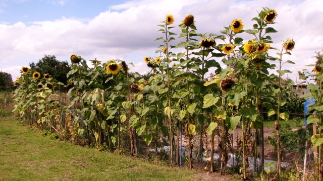 A parade of sunflowers (Helianthus sp)