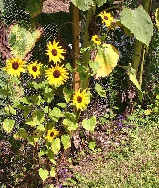 Small sunflowers (Helianthus sp)