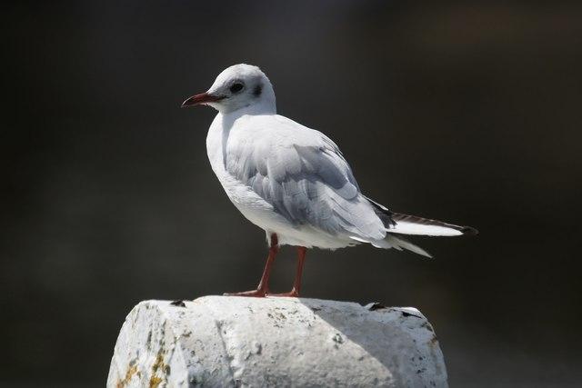 Black-headed Gull (Chroicocephalus ridibundus), Teddington Lock